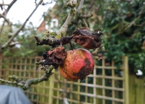 The apple is still hanging on